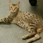 Best Ocicat Kitten Of The Year: DREAMSONG MESA OF TEHUACANA
