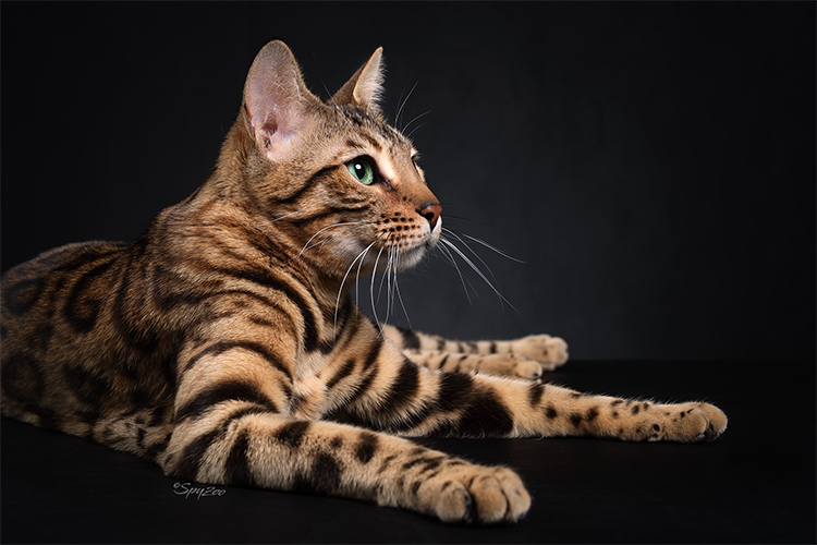 15th Best Cat of the Year: JUNGLETRAX DIANA OF ABAOSHOUSE