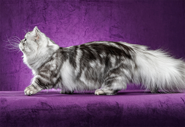 20th Best Kitten Of The Year: LILDARLYNNS SILVER ON THE FLIP SIDE