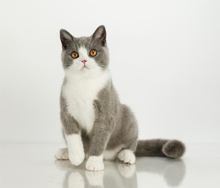 2nd Best Kitten Of The Year: SILVERCHARM MANNISH BOY