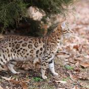 5th Best Kitten Of The Year: JUNGLETRAX INNATE EQUANIMITY