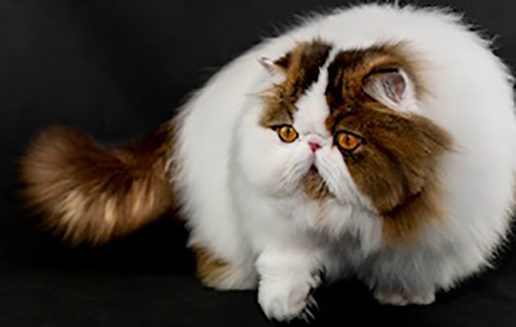 13th Best Longhair Cat Of The Year: SIMCRIS SKIPPETYFLIP