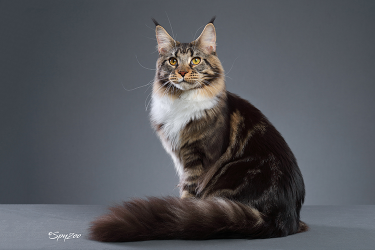 15th Best Longhair Cat Of The Year: MTNEST DYNASTY OF BROWNBEAR