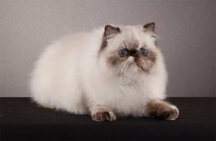 17th Best Longhair Cat Of The Year: MELODY'S NIAGARA/LO
