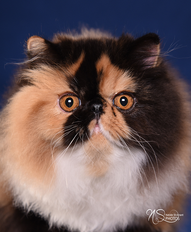 18th Best Longhair Cat Of The Year: ANOUCHKA ADELAIDE