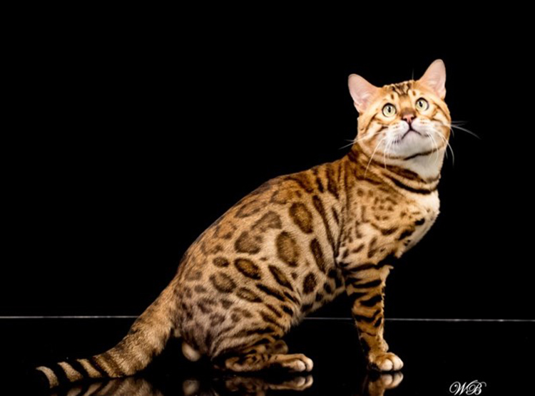 16th Best Shorthair Cat Of The Year: WILLOWBLUE KAIDU