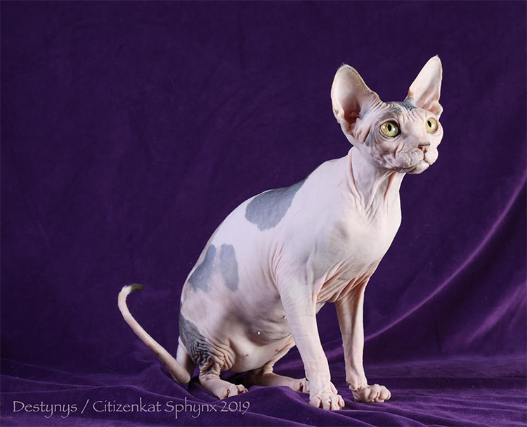 22nd Best Shorthair Cat Of The Year: DESTYNYS SWAY ME SMOOTH