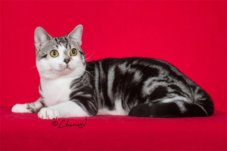 23rd Best Shorthair Cat Of The Year: WINDLEAVES TOP GUN OF PLYMOUTHROCK