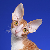 Cornish Rex 1 Alter Legal Watson THUMB