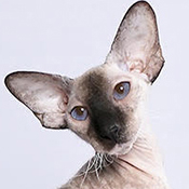 Peterbald 1 Cat Emmeline Shon THUMB