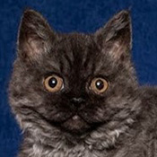 Selkirk Rex 1 Kitten Smoke on Water Thoele THUMB