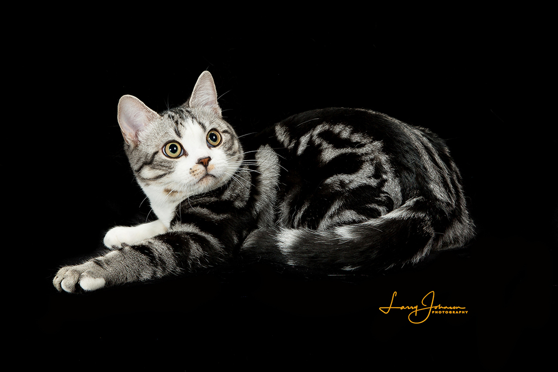 20th Best Shorthair Cat Of The Year IW MOWGLIS STRIKE 2