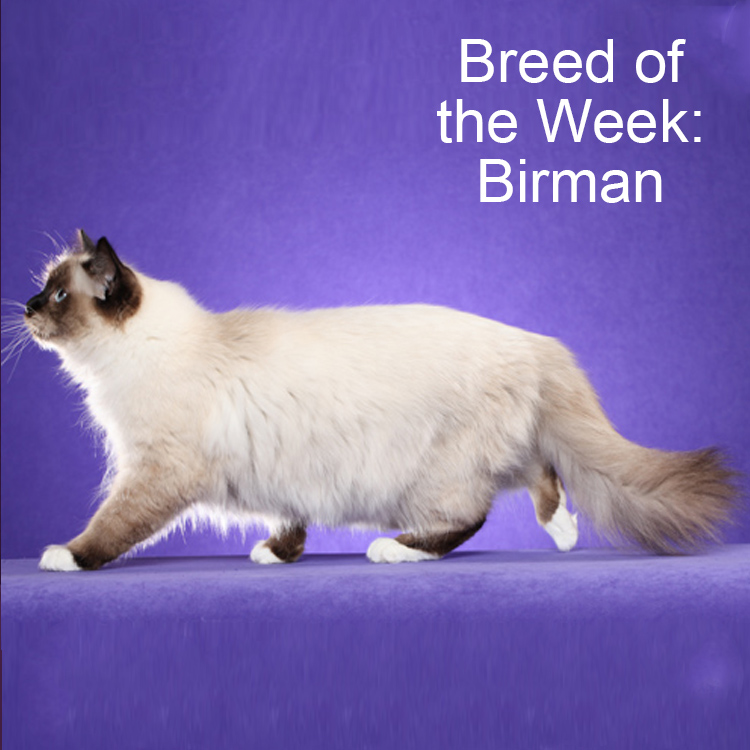 Birman BreedOfTheWeek