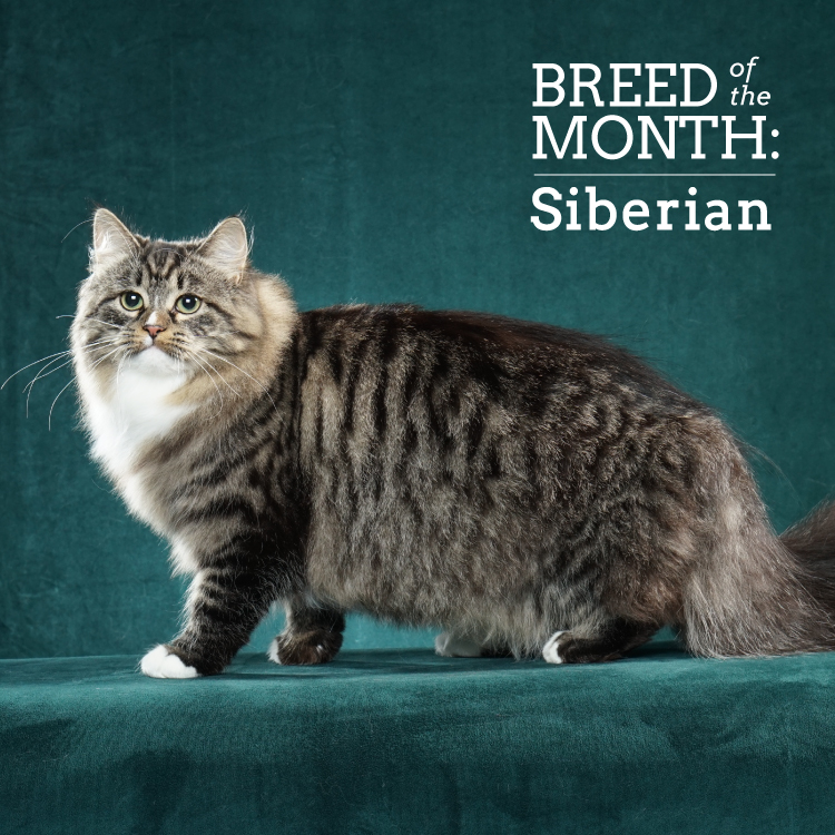 Breed of the Month American Bobtail