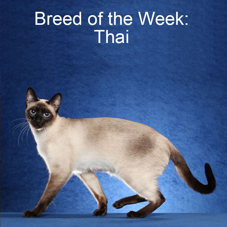 Thai BreedOfTheWeek